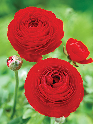 Ranunculus Red, pack of 10