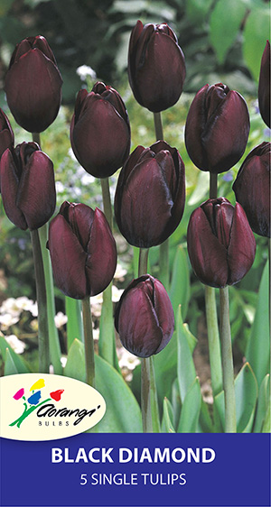 Tulip Black Diamond, pack of 5