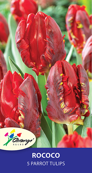 Parrot Tulip Rococo - Pack of 5