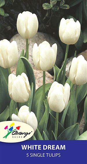 Single Tulip White Dream - Pack of 5