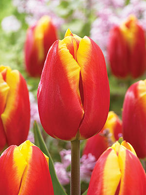 Single Tulip Dow Jones