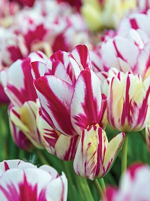 Single Tulip Flaming Kiss - Aorangi Bulb Nurseries