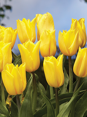 Tulip Strong Gold