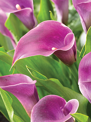 Zantedeschia Purple Haze, pack of 1