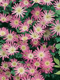Anemone Blanda Pink Pearl