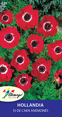 Anemone Hollandia, pack of 15, size 4/5