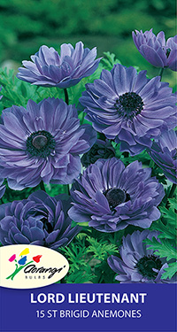 Anemone Lord Lieutenant, pack of 15, size 4/5