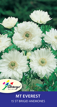 Anemone Mount Everest - 15 Bulbs