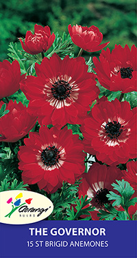 Anemone The Governor, pack of 15, size 4/5