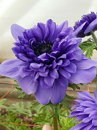 Anemone Fullstar Blue