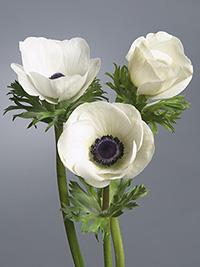 Anemone Galilee White