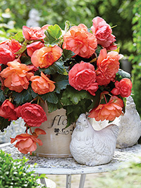 Begonia Scented Sweet Pink