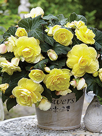 Begonia Scented Yellow Flame