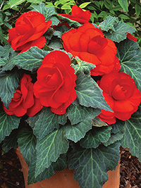 Begonia Double Scarlet - 1 Tuber