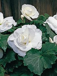 Begonia Double White - 1 Tuber