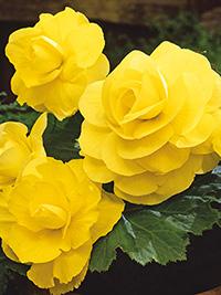 Begonia Double Yellow - 1 Tuber