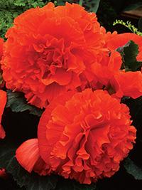 Begonia Fimbriated Orange - 1 Tuber