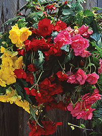 Begonia Mix Pendular