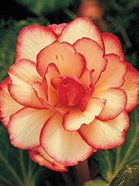 Begonia Picotee Bridesmaid - 1 Tuber