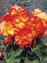 Begonia Picotee Crispa Yellow