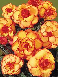 Begonia Picotee Harlequin- 1 Tuber