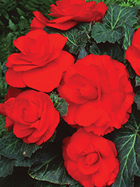 Begonia Roseform Red
