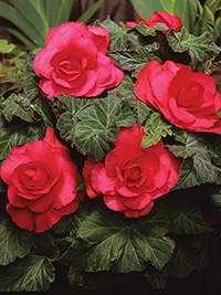 Begonia Roseform Rose