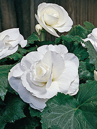 Begonia Roseform White