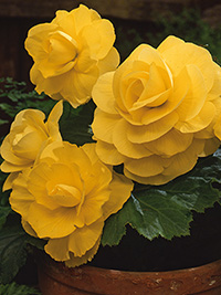 Begonia Roseform Yellow