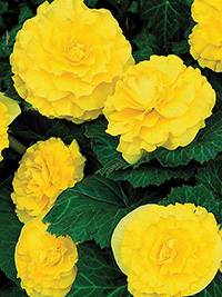 Begonia Ruffled Yellow