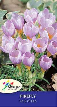 Crocus Firefly, pack of 5