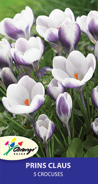 Crocus Prins Claus - 5 Bulbs