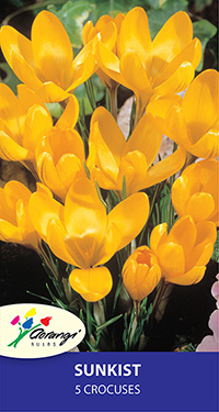 Crocus Sunkist, pack of 5