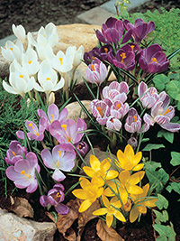 Crocus Mixture