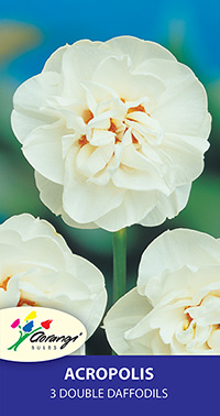 Daffodil Acropolis, pack of 3