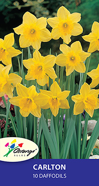 Daffodil Carlton, pack of 10