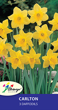 Daffodil Carlton, pack of 3