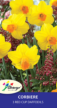 Daffodil Corbiere, pack of 3
