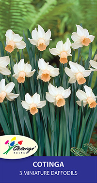 Daffodil Cotinga, pack of 3