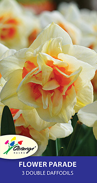 Daffodil Flower Parade, pack of 3