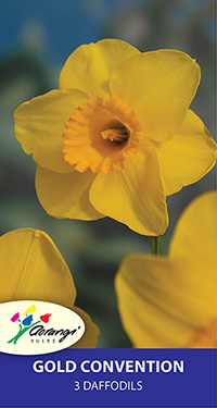Daffodil Gold Convention, pack of 3
