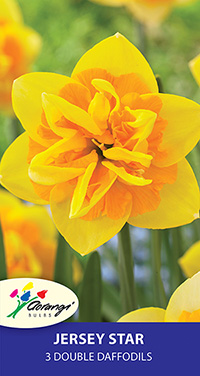 Daffodil Jersey Star, pack of 3