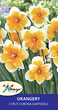 Daffodil Orangery, pack of 3