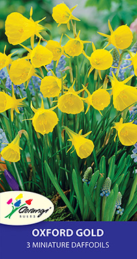 Miniature Daffodil Oxford Gold - Pack of 3