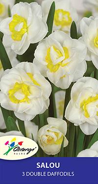 Daffodil Salou - Pack of 3