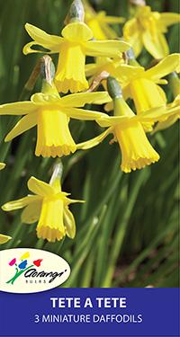 Miniature Daffodil Tete a Tete - Pack of 3
