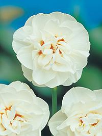 Double Daffodil Acropolis