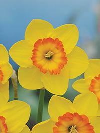 Daffodil Banda