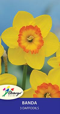 Daffodil Banda - Pack of 3