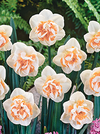 Daffodil Christmas Valley, pack of 3